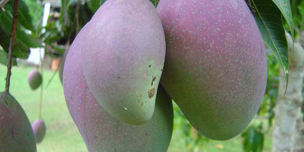 fresh mangoes hanging on a mango tree